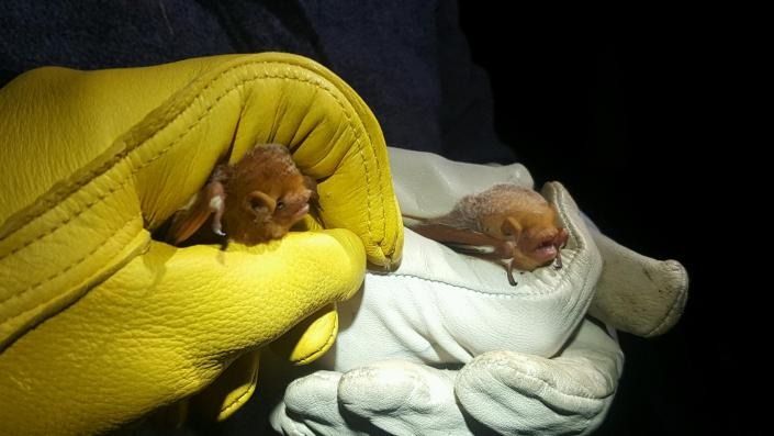 Female (right) and male (left) eastern red bats after being removed from the same net. Photo by MacKenzie Hall.