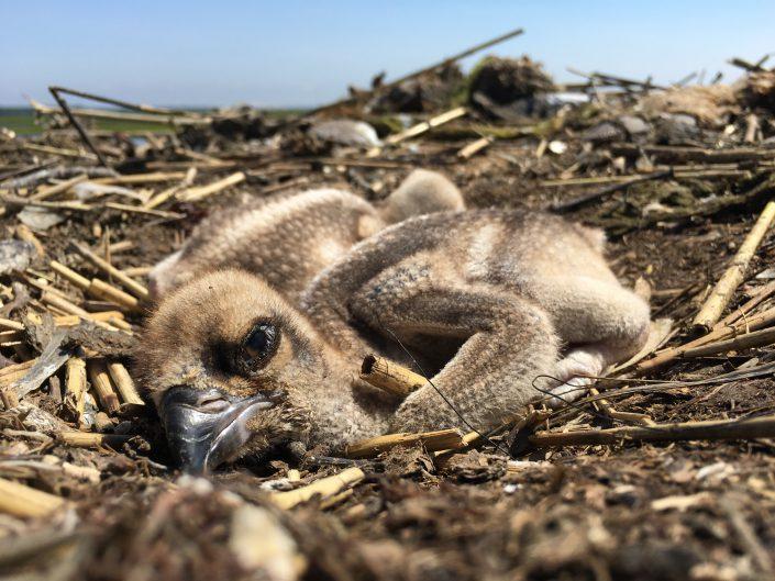 Life is precious. One week old ospreys.