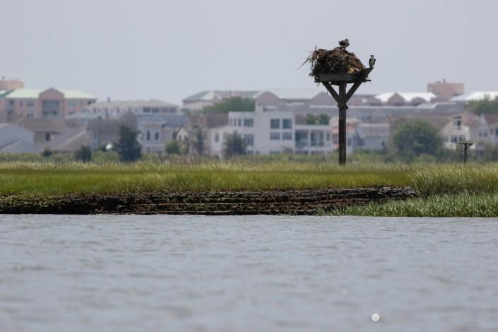 A lucky nestling on a huge nest.