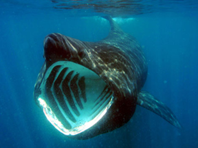 Basking shark feeding
