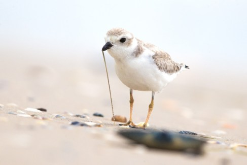 piping-plover-worm_JV