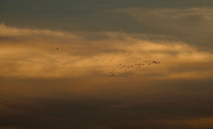 shorebirds flying for the Arctic