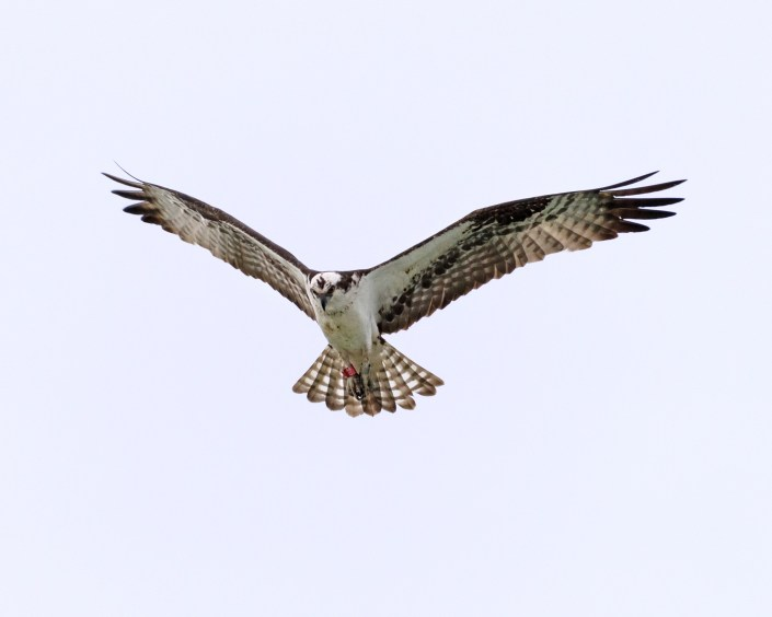 Project RedBand Osprey 44/C was re-sighted by Shayna Marchese on Island Beach State Park on July 3, 2016.