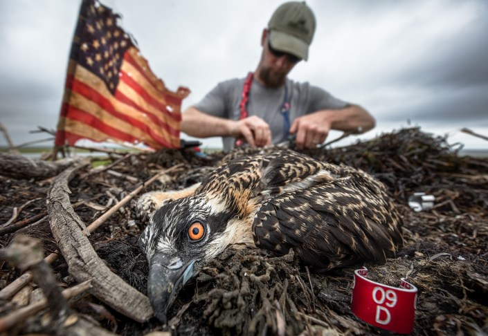 Banding a young osprey at a nest on July 1, 2016. Photo by Northside Jim.