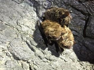 Little brown bats. Photo courtesy of Stephanie Feigin.