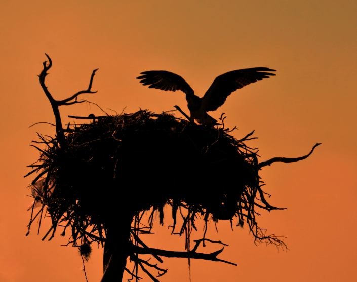 osprey-silouette-by-blaine