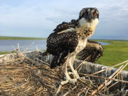A very skinny osprey nestling who might not survive if the adults do not provide enough food.