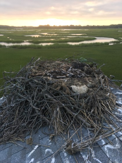 Nest atop an old shack on the marsh.