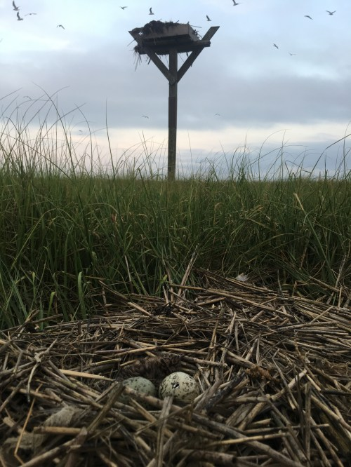 A laughing gull nest beneath an active osprey nest.