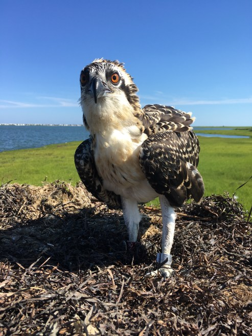 Osprey 30/K, the last elite red banded osprey in NJ this year.
