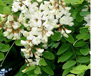 Miele di Acacia - Secchio da 25kg
