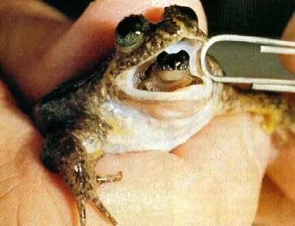 espèces-animaux-disparus-grenouille-plate-incubation-gastrique