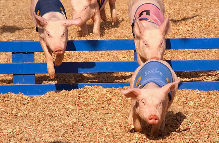 Photo of a pig race