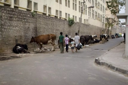 Visite de Bangalore - Des vaches dans la ville