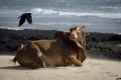 Goa Beach: Cows on the Beach