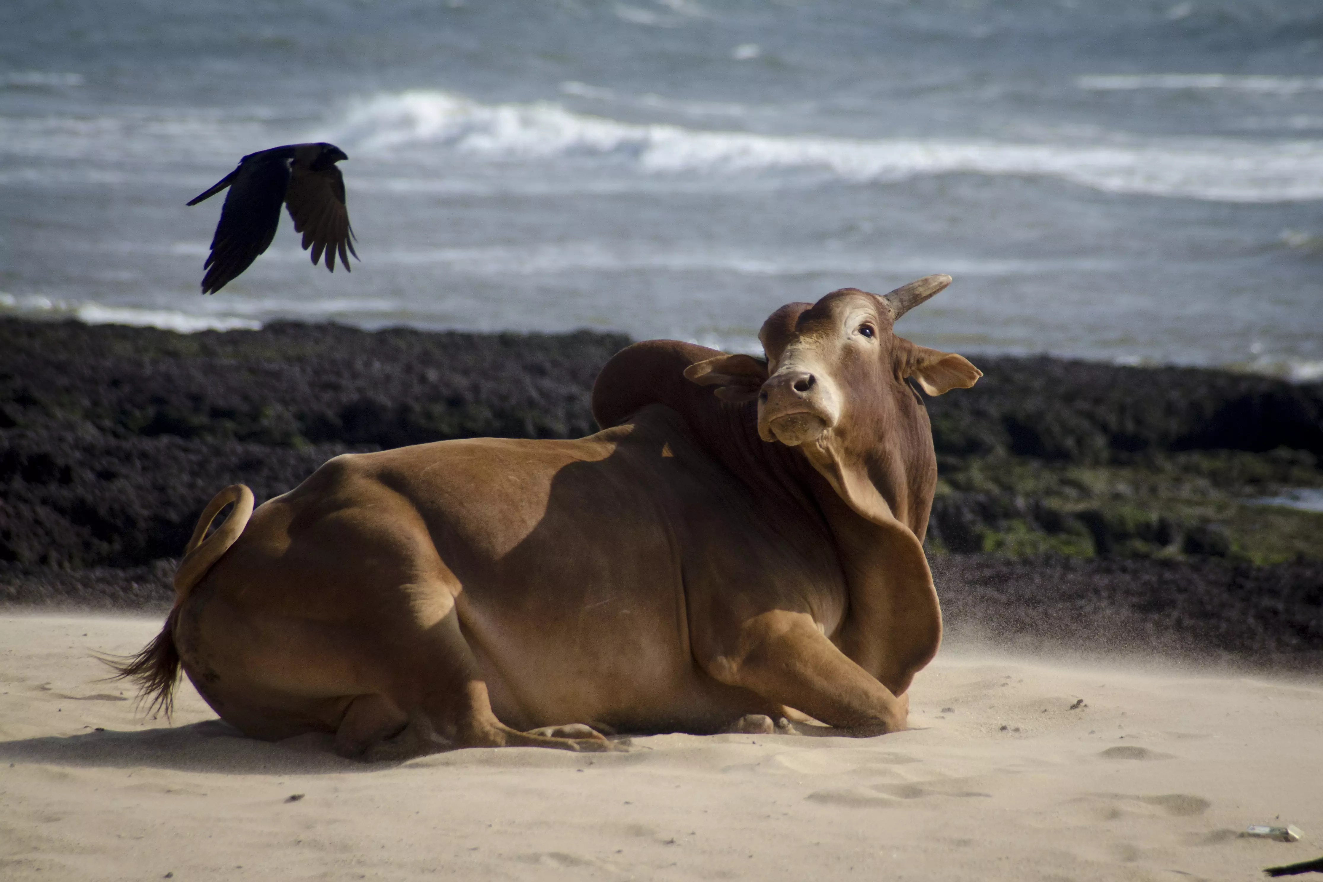 Goa Beach: Cows on the Beach