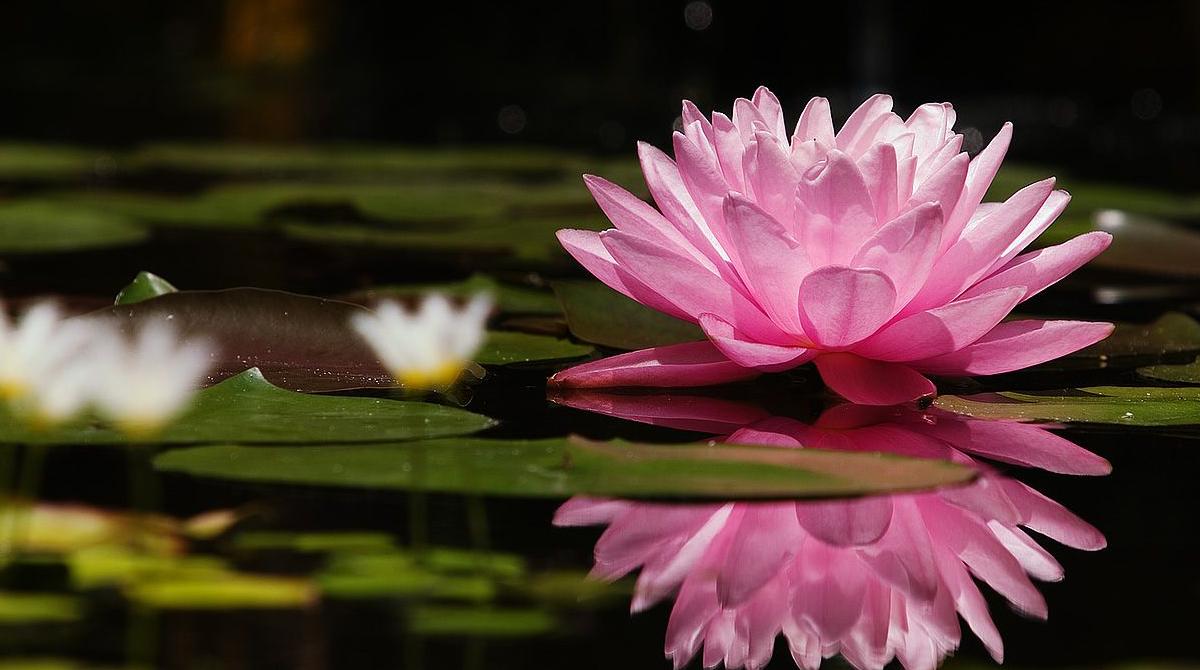 flor de lótus capa 2