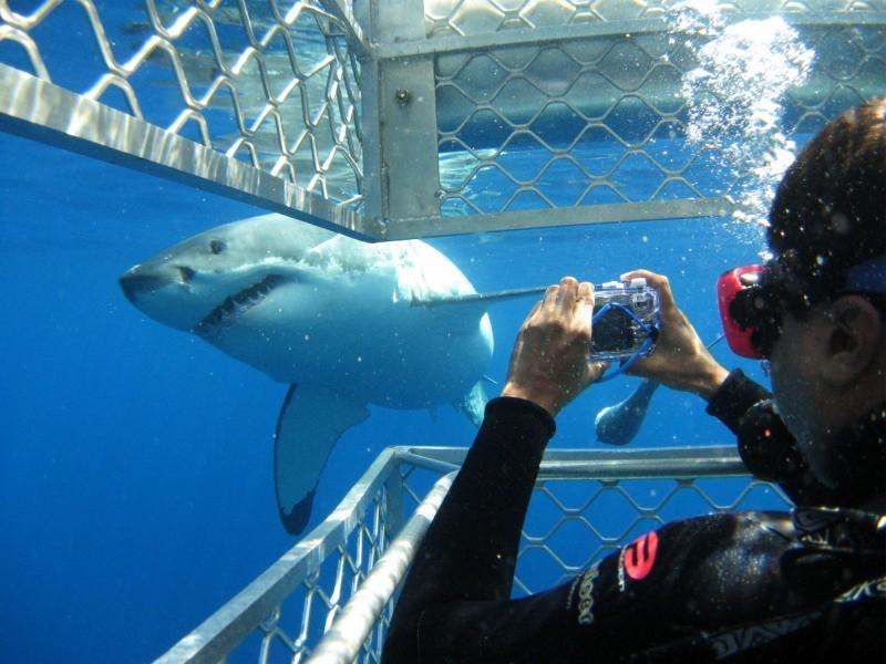 8 faqs White Shark