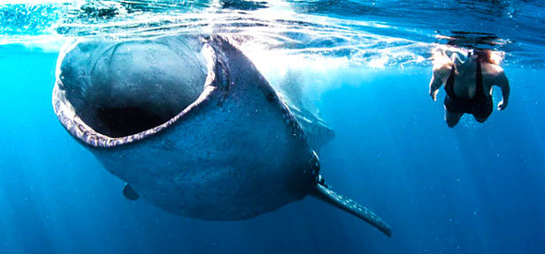 Whale Shark Tour Riviera Maya Top Rated Activity