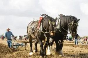 Reigning British Champion Horse Ploughman Jim Elliott from Beamish, Co Durham