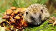 Hedgehog Day - Castle Gardens, Sherborne (Photo: Victoria Hillman)