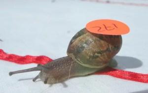 World Snail Racing Championships 2013