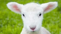 Learn about lambing at Willows Farm's February Frolics