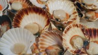What a load of scallops at the Rye Bay Scallop Week