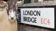 London Sheep Drive 2016
