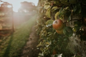 Clovelly Apple Day 2016 - Photo: Terry Anis