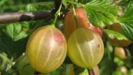 Gooseberries - Egton Bridge Gooseberry Show 2018