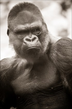 singe gorille CC Fotografik33