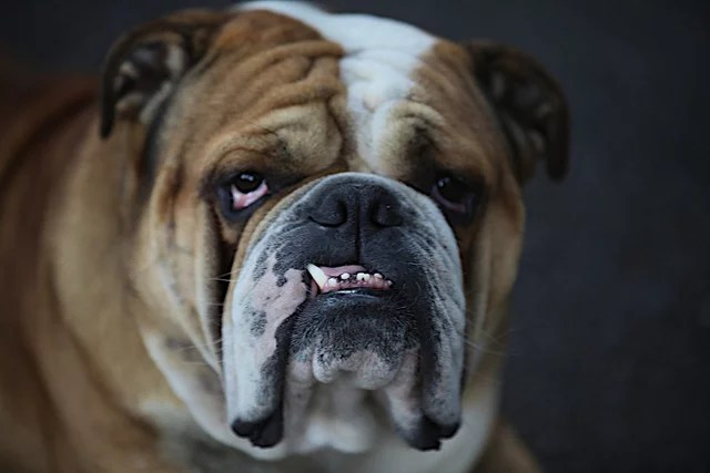 Bulldog anglais credits Martine Lanchec-Girard (licence creative commons)