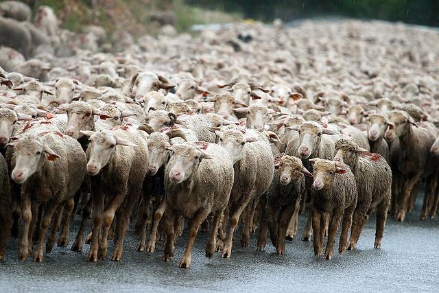 Troupeau de moutons (de Panurge) (Crédits Alessandro Prada, licence CC-BY-SA 2.0), via Flickr.