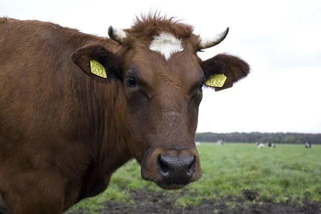 Joe cow credits Tobias Akerboom via Flickr ((CC BY 2.0))