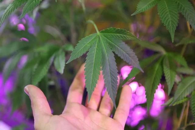 Dépénalisation du cannabis : une idée qui progresse