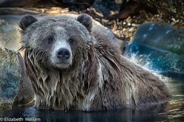 Portrait of a bear credits Elisabeth Aslam via Flickr ( (CC BY-NC 2.0)