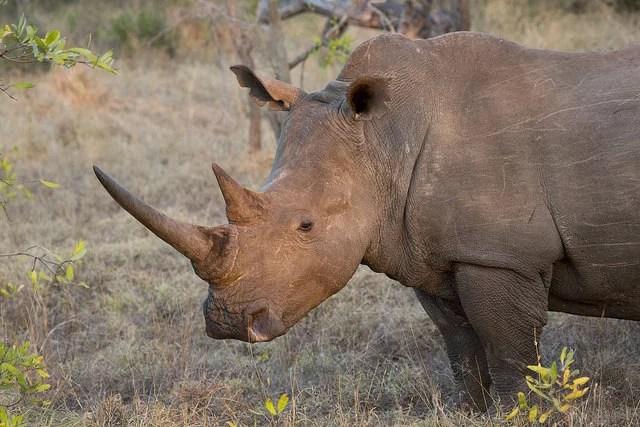 white rhino-gmacfadyen(CC BY-NC-ND 2.0)