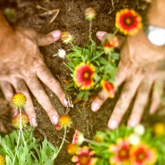 Man's hands planting flowers