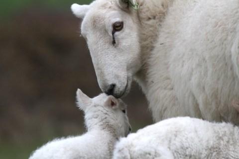 Bardsey lamb