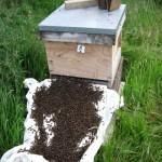 hiving swarm, june 2011