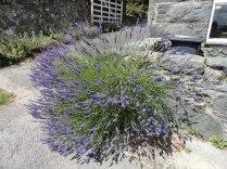 Lavender in flower