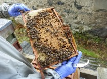 Bee gloves, nice comb of brood,