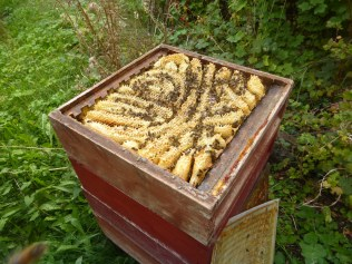 Hive of bees with wild comb
