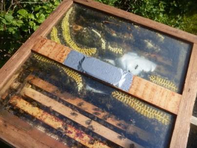 Wild comb under a glass quilt