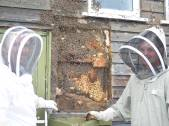 Clearing feral colony of bees