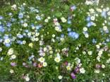 Wild flower border at Rowen