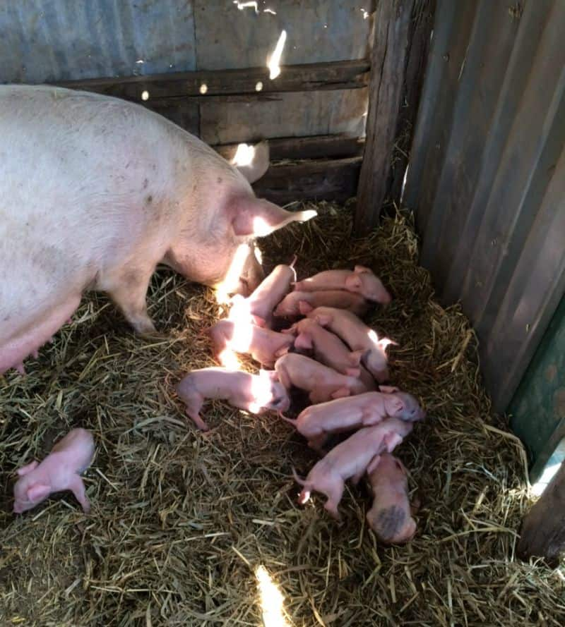 Anthony's piglets