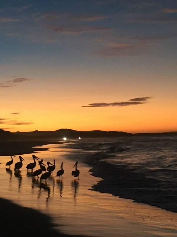 Pelicans at sunset at Orchid Beach, Fraser Island