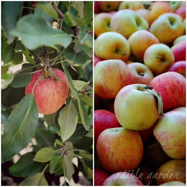 Bilpin Apple Picking